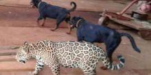 Vídeo de amizade entre onça pintada e cachorro chama atenção em redes sociais