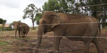 ONG faz 'vaquinha' para transporte de elefantas de MG para santuário em MT