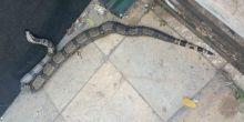 Cobra é resgatada em uma das principais avenidas de Cuiabá