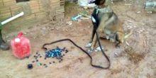 Cão farejador acha droga escondida em garrafa térmica dentro de parede